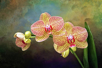 Photograph - Moth Orchids by Carolyn Derstine