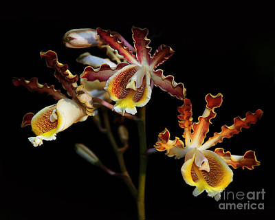 Photograph - Moth Orchids by Judi Bagwell
