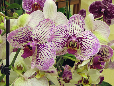 Photograph - Moth Orchids by Therese Black