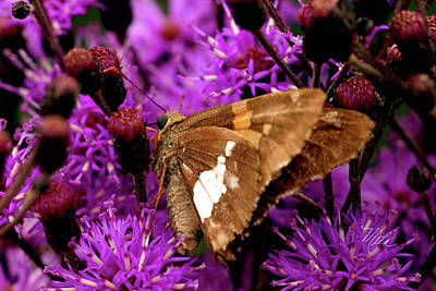 Photograph - Moth On Purple Flowers by Meta Gatschenberger