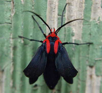 Photograph - Moth Wearing Red Stole by Adria Trail