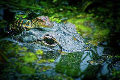 Reptiles Photograph - Mother Alligator With Baby by Mark Andrew Thomas