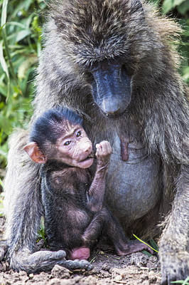 Bath Time Rights Managed Images - Mother and baby baboon,in the Tarangire National Park, Tanzania Royalty-Free Image by Mariusz Prusaczyk