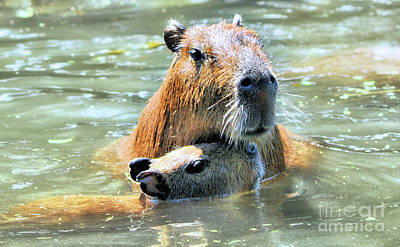 Photograph - Mother And Baby Capybara by Elaine Manley