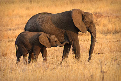 Girl Photograph - Mother And Baby Elephants by Adam Romanowicz