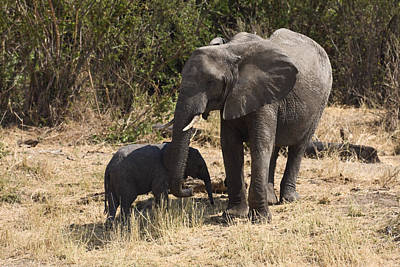 Loxodanta Photograph - Mother And Baby Elephants by Sally Weigand