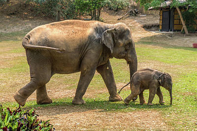 Photograph - Mother And Baby Elephants, Thailand by Randy Straka