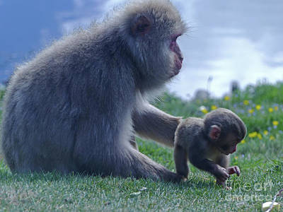 Photograph - Mother And Baby - Japanese Macaque by Phil Banks