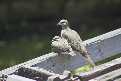 Photograph - Mother And Baby Mourning Doves by Diana Haronis