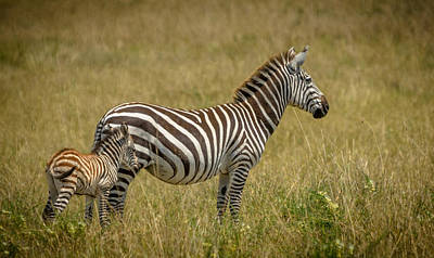 Wall Art - Photograph - Mother And Baby Zebra by Adrian O Brien