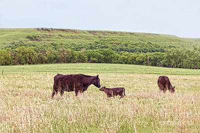 Photograph - Mother And Calf In The Flint Hills by Catherine Sherman
