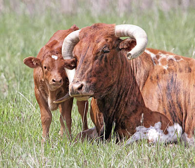 Photograph - Mother And Calf Texas Longhorn Cattle by Jennie Marie Schell