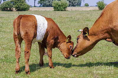 Photograph - Mother And Child Calf by Patricia Hofmeester
