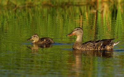 Photograph - Mother And Child Mallards by Jean Noren