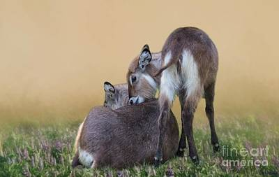 Photograph - Mother And Child Waterbucks by Eva Lechner