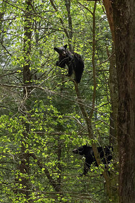Photograph - Mother And Cub Eating In A Tree Together by Dan Friend