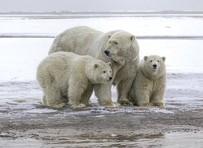 Mother And Cubs In The Arctic Art Print