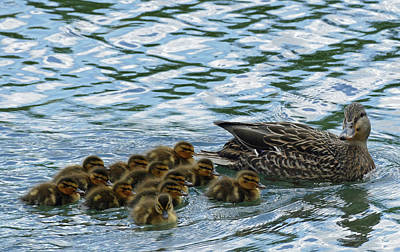 Photograph - Mother And Ducklings by Bill Jordan