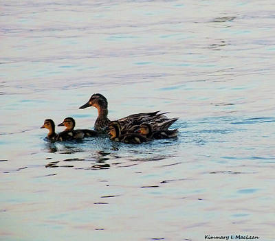 Photograph - Mother And Ducklings by Kimmary I MacLean