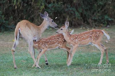 Nursing Deer Photograph - Mother And Fawns by Roxanne Basford