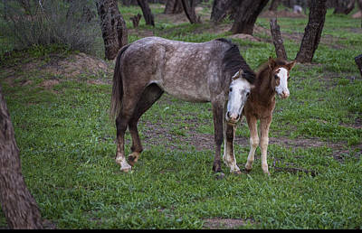 Photograph - Mother And Foal Wild Salt River Horses 3 by Dave Dilli