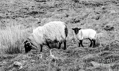 Photograph - Mother And Lamb by Lexa Harpell