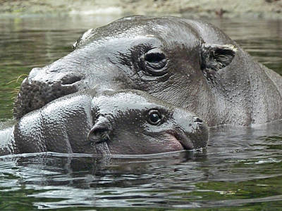Photograph - Mother And Son - Pygmy Hipppopotamus by Margaret Saheed