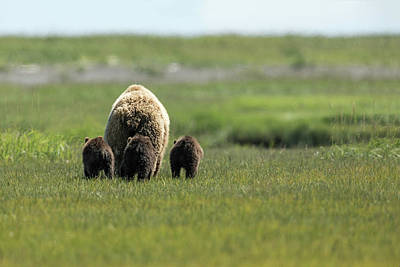 Photograph - Mother And Three Cubs by Mark Harrington