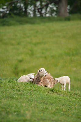 Photograph - Mother And Two Lambs by Joye Ardyn Durham