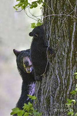 Photograph - Mother Bear Watching Her Cub Climb A Tree by Dan Friend