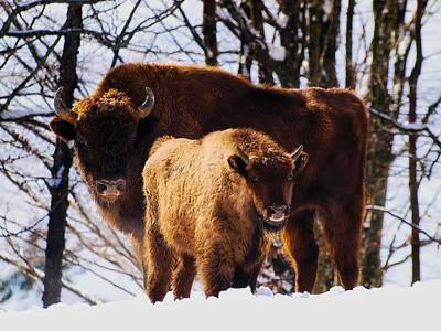 Photograph - Mother Bison And Calf by Marc Bendetti