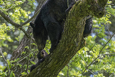 Photograph - Mother Black Bear And Cub In Tree by Dan Friend