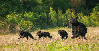 Dan Beauvais Royalty-Free and Rights-Managed Images - Mother Black Bear and Three Cubs 7006 by Dan Beauvais
