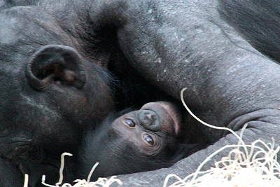 Photograph - Mother Bonobo And Her Baby by Laurel Talabere