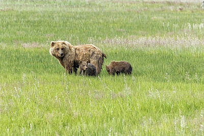 Photograph - Mother Brown Bear With Her Two Cubs, No. 1 by Belinda Greb