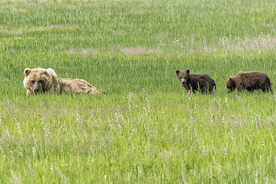 Photograph - Mother Brown Bear With Her Two Cubs, No. 2 by Belinda Greb