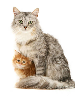 Photograph - Mother Cat And Ginger Kitten by Warren Photographic