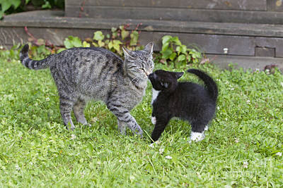 Pet Care Photograph - Mother Cat With Kitten by Duncan Usher