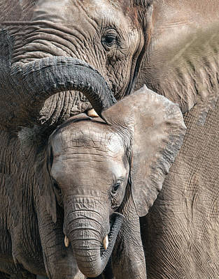Photograph - Mother Elephant Caressing Her Calf by William Bitman