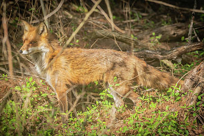 Photograph - Mother Fox Img 2 by Bruce Pritchett