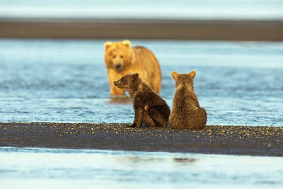 Photograph - Mother Gazing At Her Cubs by Mark Harrington