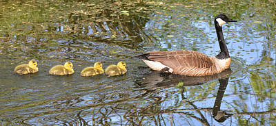 Photograph - Mother Goose And Goslings by Alan Lenk