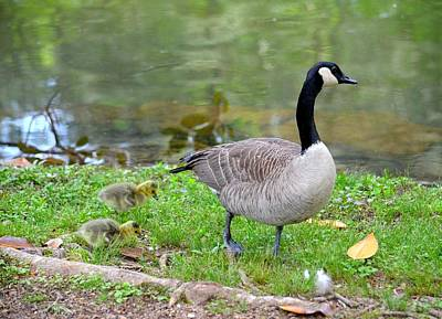 Photograph - Mother Goose And Goslings by Maria Urso