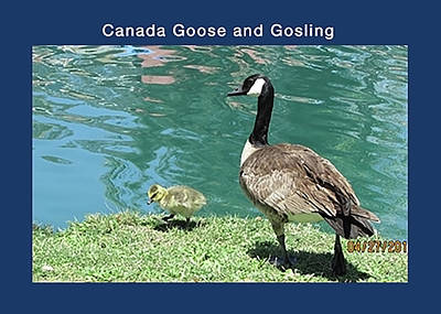 Mother Goose Encouraging Gosling Art Print