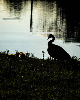Photograph - Mother Goose by Jay Stockhaus