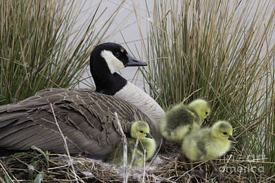 Photograph - Mother Goose by Jeannette Hunt