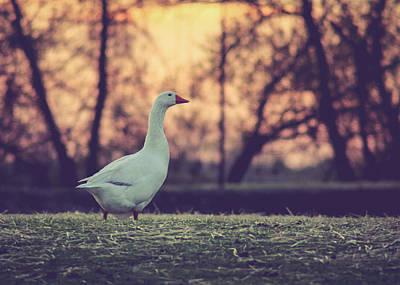 Photograph - Mother Goose by Viviana  Nadowski