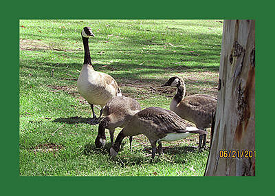 Mother Goose Walking Three Goslings Art Print