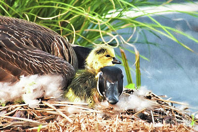 Mother Goose Digital Art - Mother Goose With Newborn Gosling  by Vizual Studio