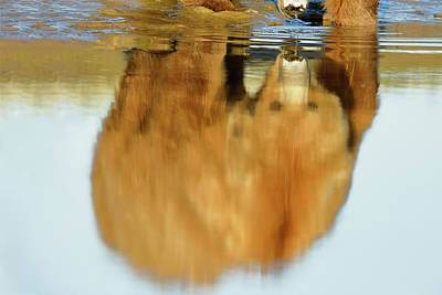 Mother Grizzly Reflection Art Print